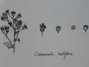 lactiflora [www.campanula-campanulaceae.nl]